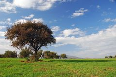 Grüne Felder, blauer Himmel, einsamer Baum Lizenzfreies Stockbild