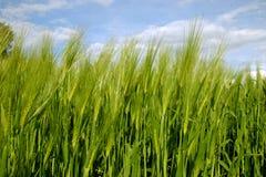 Grüne Felder und blauer bewölkter Himmel Lizenzfreies Stockfoto