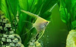 Grüne Fische im Aquarium stockbilder