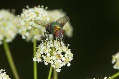 Grüne Flaschenfliege auf weißen Blumen des Giftschierlings, Connecticut Lizenzfreie Stockfotos