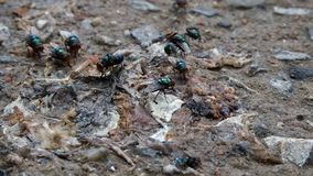 Grüne Fliege stock video