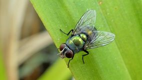 Grüne Fliege auf Blättern stock footage
