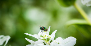 Grüne Fliege auf weißer Blume Stockbild