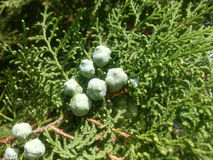 Grüne Früchte Stockbild