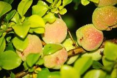 Grüne Früchte der Girlande der japanischen Quitte auf Niederlassungen eines Busches Lizenzfreie Stockfotografie