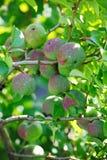 Grüne Früchte der Girlande der japanischen Quitte auf Niederlassungen eines Busches Lizenzfreie Stockbilder