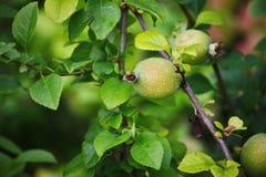 Grüne Früchte der Girlande der japanischen Quitte auf Niederlassungen eines Busches Stockfoto