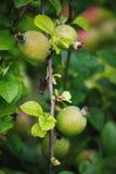 Grüne Früchte der Girlande der japanischen Quitte auf Niederlassungen eines Busches Stockbilder