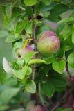 Grüne Früchte der Girlande der japanischen Quitte auf Niederlassungen eines Busches Stockbild