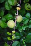 Grüne Früchte der Girlande der japanischen Quitte auf Niederlassungen eines Busches Lizenzfreies Stockfoto