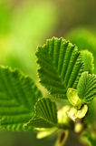 Grüne Frühlingsblätter Lizenzfreies Stockbild
