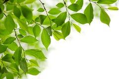 Grüne Frühlingsblätter auf weißem Hintergrund Stockbilder
