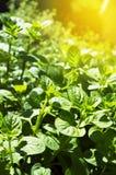 Grüne frische Anlage, Sommeranlage, Sommerkraut, grüne frische rohe SU stockfotos