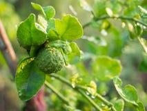 Grüne frische Bergamotte Stockbilder