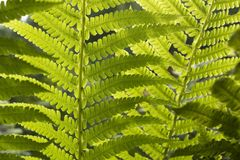 Grüne frische Betriebsfarnnahaufnahme für Hintergrund lizenzfreie stockfotografie