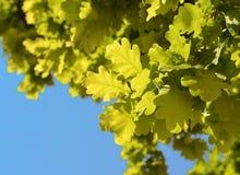 Grüne frische Eiche verlässt Hintergrund Lizenzfreie Stockfotografie