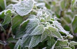 Grüne frische gefrorene Nessel Lizenzfreies Stockfoto