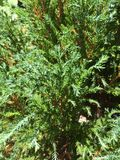 Grüne frische Kiefer Stockfotografie