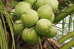 Grüne frische Kokosnuss auf Baum Stockbild