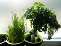 Grüne frische Kräuter in den Töpfen Stockfoto