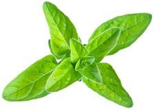Grüne frische Majoranblätter auf einem Weiß Stockfotos