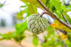 Grüne Frucht - rohe Annone auf dem Baum auf unscharfem Naturhintergrund lizenzfreies stockbild