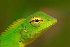 Grüne Garten-Eidechse, Calotes-calotes, Detailaugenporträt des exotischen tropischen Tieres im grünen Naturlebensraum, Sinharaja- Stockfoto