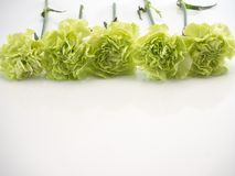 Grüne Gartennelke auf weißem Hintergrund stockbilder