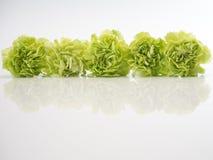 Grüne Gartennelke auf weißem Hintergrund lizenzfreie stockbilder