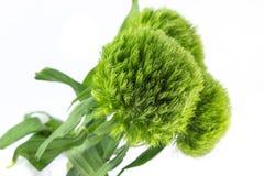 Grüne Gartennelken betrügen lizenzfreies stockbild