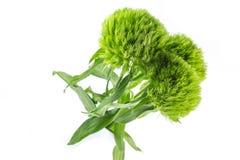 Grüne Gartennelken betrügen lizenzfreie stockbilder