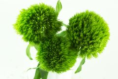 Grüne Gartennelken betrügen stockfotografie