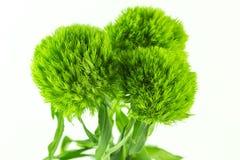 Grüne Gartennelken betrügen lizenzfreies stockfoto