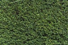 Grüne Gebüschwand Stockfotos