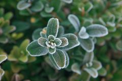 Grüne gefrorene Anlage mit den Blättern bedeckt mit Eiskristallen stockfoto