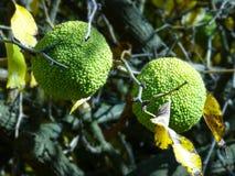 Grüne Gehirne, die an einem Hecken-Apfelbaum hängen Lizenzfreie Stockfotos