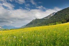 Grüne gelbe Wiese voll des Löwenzahns Lizenzfreie Stockfotografie