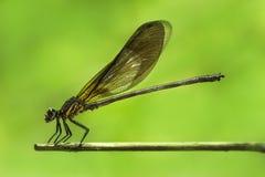 Grüne gelbliche Libelle/Damselfly/Zygoptera hockt auf Bambusstamm Stockfotografie