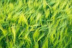 Grüne Gerste Stockbild