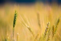 Grüne Gerste auf einem Feld lizenzfreie stockbilder
