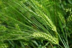 Grüne Gerste der Ährchen zu den Plantagen Lizenzfreie Stockfotos