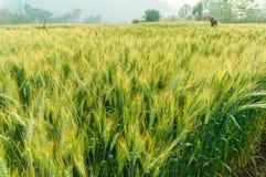 Grüne Gerste im Bauernhof mit Naturleuchte Lizenzfreie Stockbilder
