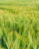Grüne Gerste im Bauernhof mit Naturleuchte Stockfotos