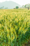 Grüne Gerste im Bauernhof mit Naturleuchte Stockfotografie