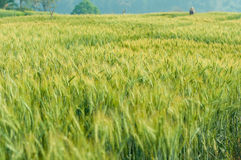 Grüne Gerste im Bauernhof mit Naturleuchte Stockfoto