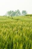 Grüne Gerste im Bauernhof mit Naturleuchte Lizenzfreies Stockbild