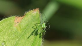 Grüne gestreifte Heuschrecke auf dem Blatt stock footage