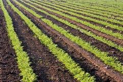 Grüne Getreide auf einem Gebiet Stockfotografie
