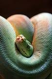 Grüne giftige Schlange umwickelte mit dem Kopf, der heraus blickt und Kamera betrachtet. Lizenzfreie Stockbilder