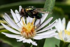 Grüne glänzende Fliege auf weißer Aster Lizenzfreies Stockfoto